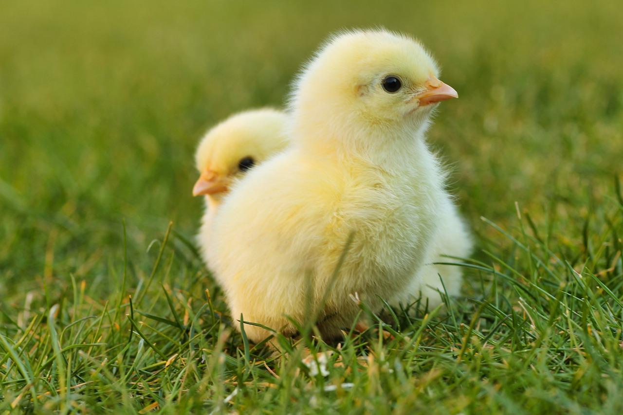 Une histoire de poulets : Hier (1900) et aujourd'hui (2020)