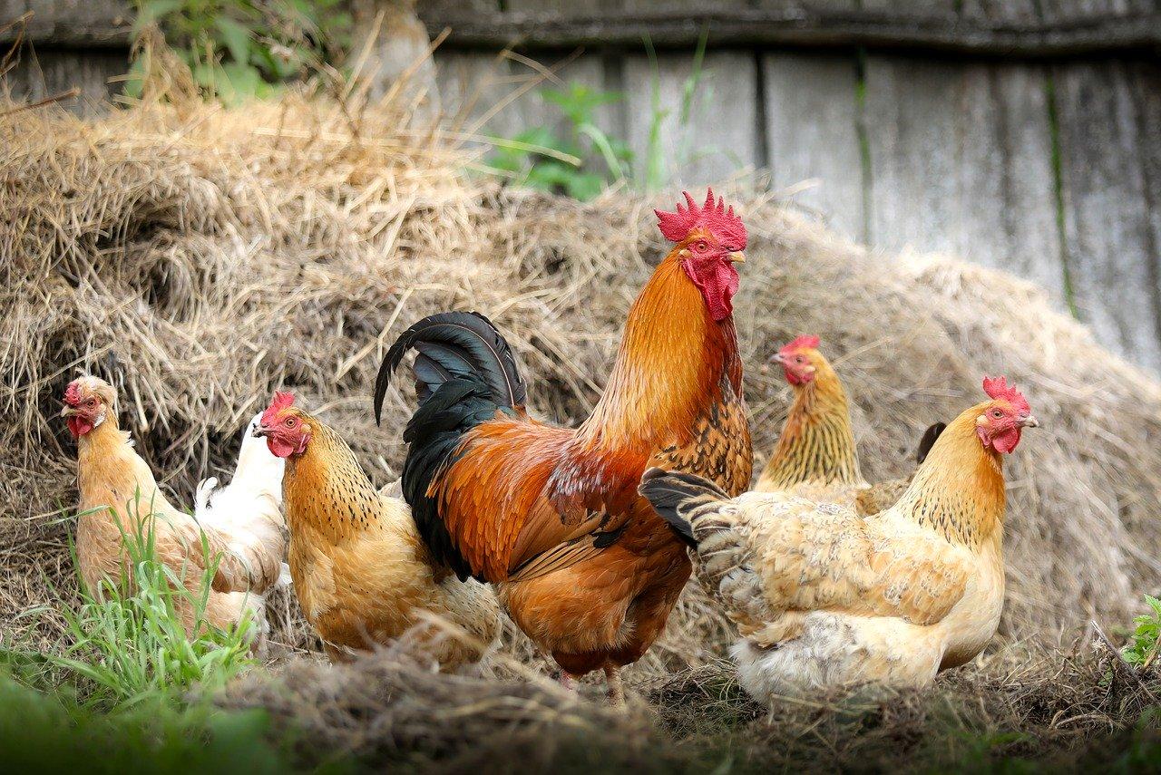 Questions à se poser avant d'acheter des poulets de basse-cour